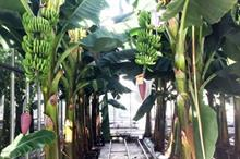 "Dutch glasshouse bananas ""more sustainable with less disease risk"""