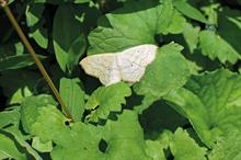 Winter moths: how growers can protect their forestry trees and ornamentals crops against winter moths
