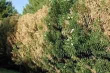 EU adds 37 plants to Xylella host list