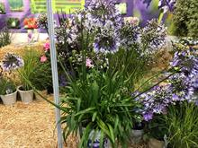 Agapanthus Fireworks wins National Plant Show best in show