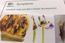 Confirmed sightings of Agapanthus gall midge hit 83 in 2017