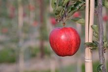 Apple crop could 'rot on trees' if Government does not act on seasonal labour