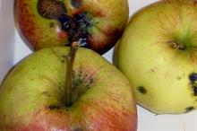 """""""Unique"""" fungicide approved for control of scab in apples and pears"""