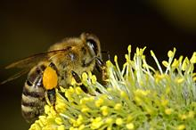 Honey bees swap white clover for bramble amid declining nectar sources