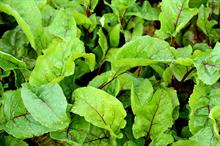 Alert: pests and diseases affecting beetroot and chard