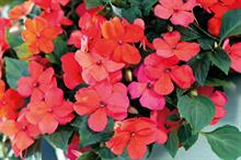 Horticulture Week Business Award - Best Ornamental Plant Introduction -- Bedding