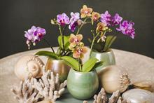 New collaboration Bremkens Orchids and Dümmen Orange