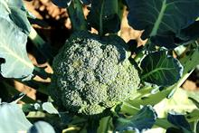 Alert: humidity ups disease on brassica