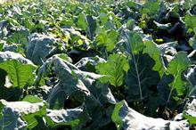 Brassica Alert: ringspot and white blister risk high