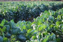 Brassica Alert: high risk of white blister and ringspot