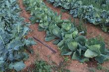 Brassica alert: ringspot risk high