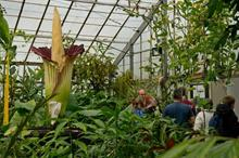 RBG Edinburgh hoping for blooming hat trick from its record-breaking 'corpse flower'