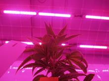 CannNext and Signify conduct research on effects of LED on compounds and plant characteristics of medicinal cannabis crop