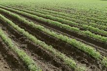 Alert: high risk of sclerotinia in carrot crops