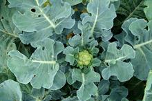 Brassica Alert: disease development ongoing
