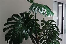 Retro plant trend sees Monstera deliciosa in short supply