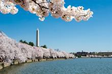 "Japan to extend ""cherry blossom diplomacy"" to UK with gift of a thousand trees"