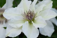 Clematis 'Evipo097' (Kitty Boulevard Up Climbers)