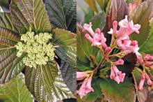 New Plants: Viburnum - hybrids offer new dimensions and tackle problems