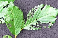 New elm leaf pest identified in UK for first time