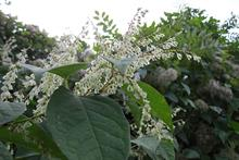 What can land managers do to stay out of court over Japanese knotweed?