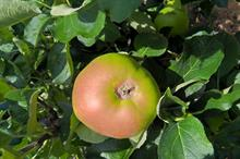 "Tesco to accept apples with ""widespread"" frost ring defects"