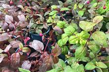 Fuchsia gall mite spreads to Yorkshire