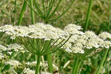 River Tyne giant hogweed programme wins Scottish rural award for second year