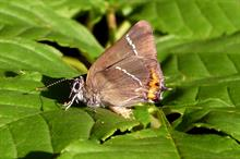 Fate of rare Sheffield elm and its butterflies contested