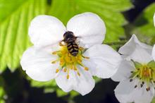 How new hoverfly research promises to help boost strawberry crops
