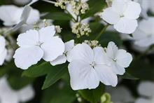 Thompson & Morgan hydrangea first in RHS Chelsea Flower Show plant of the year
