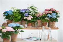 Indoor plant trend drives growing interest in Hills Plants' Magical Hydrangeas