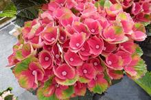 Hydrangea macrophylla 'Hokomareda' (Magical Red Amethyst)