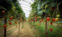 Elsoms Introduces three new commercial strawberry plant varieties to the UK market
