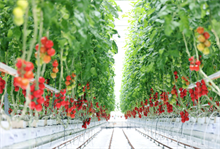 British tomato market sees innovation and investment
