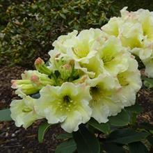 Milliais Nurseries sees rhododendron revival as new varieties set to launch at Chelsea