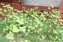 Japanese knotweed can't be quickly eradicated by herbicides, argue consultants