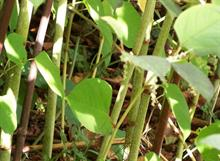 Virginia Tech researchers show how mutable invasive plants are