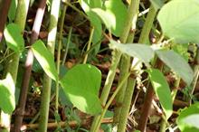 Knotweed is 'knocking £34.12bn off of UK property values'