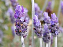 Mayfield Lavender to expand