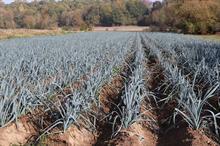 Alert: white tip on leek crops