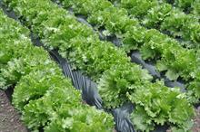 Alert: downy mildew on lettuce