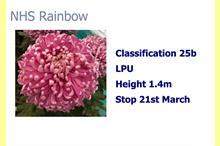 Chrysanthemums back in fashion as sales rise