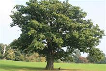 Action Oak campaign launches at RHS Chelsea Flower Show