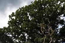 Huge number of species dependent on oak confirmed by UK study