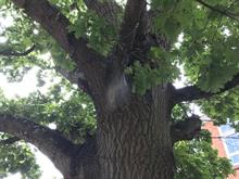 More oak processionary moths found on newly planted trees in Cardiff