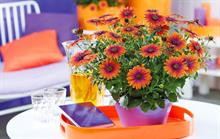 Ornamentals trade body chooses osteospermum variety as plant of the year