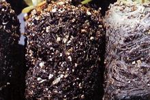 Pest & disease factsheet - Black root rot in ornamentals production
