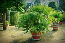 Palms set to be in short supply as import restrictions kick in