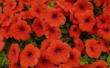 Dümmen Orange begins research into producing non-GM orange petunias